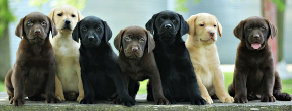 Black Lab Puppies Palm Beach County